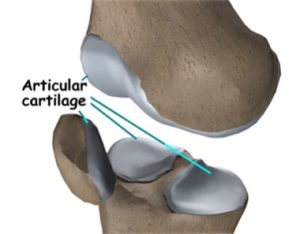 Articular-cartilage-PA1