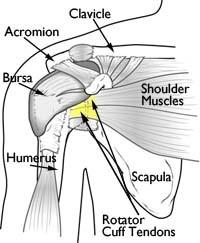 rotator-cuff-anatomy