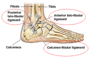ankle-ligaments
